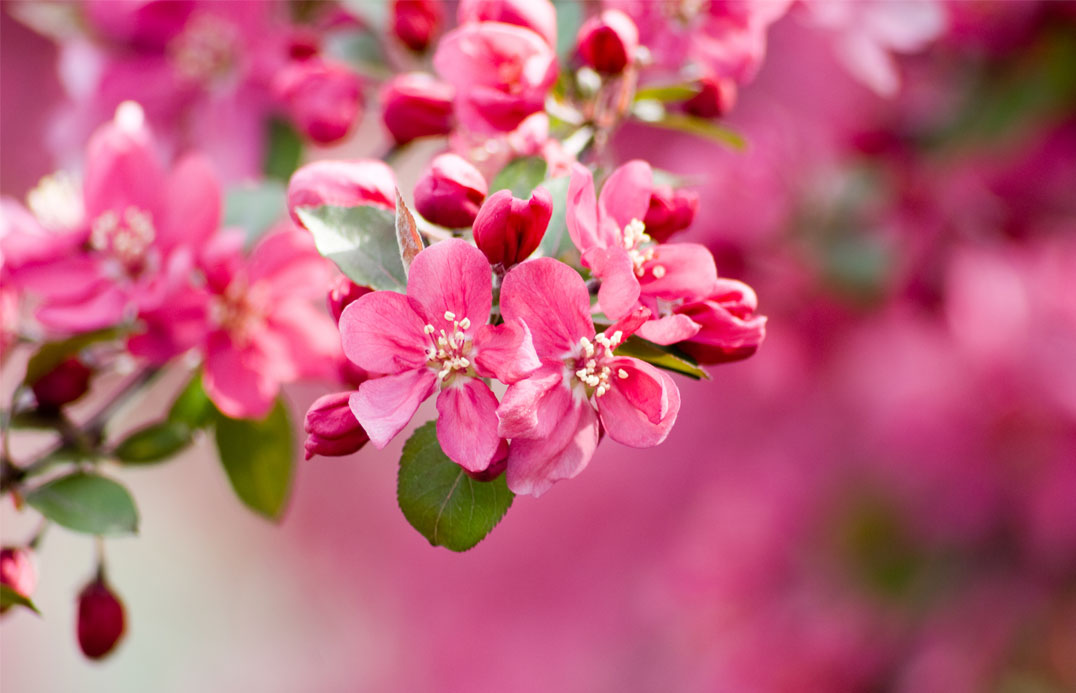 blog-blossom-pink-01